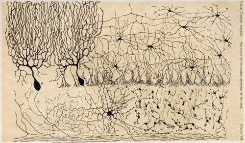 cajal-chick-cerebellum