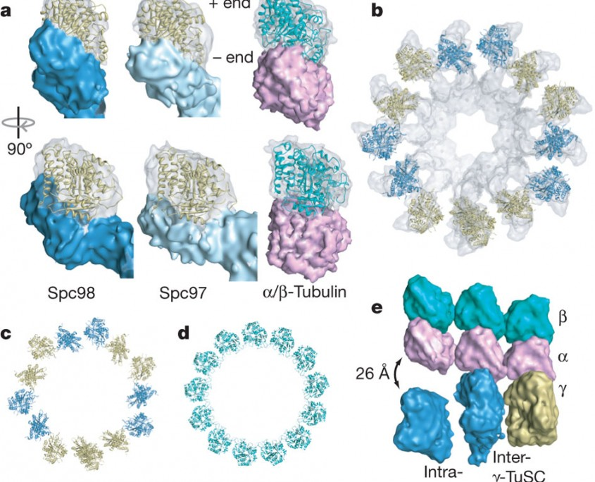 Microtubule nucleating gamma-TuSC assembles structures with 13-fold microtubule-like symmetry.