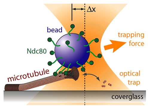 Schematic of an optical trapping experiment. A bead decorated with Ndc80 complex can track processively with a dynamic microtubule tip against applied tension.