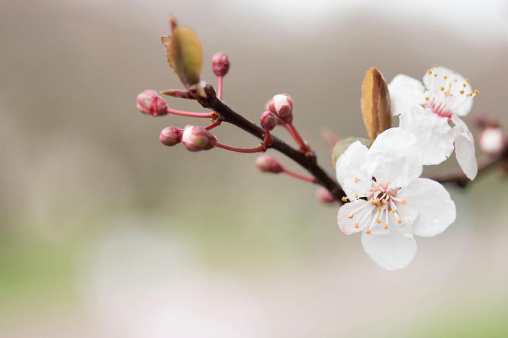 Cherry blossoms on the UW Quad. Photo by Katherine B. Turner/ UW