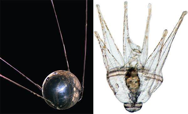 Sputnik vs urchin larva