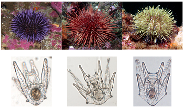 Urchin larvae by species