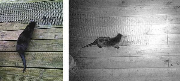 Otter cam images