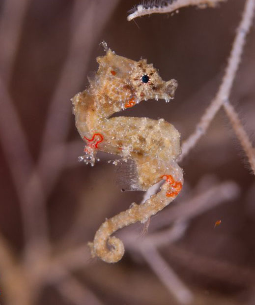 Hippocampus satomaie