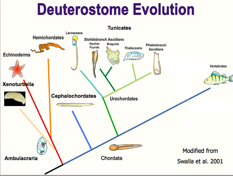 Deuterostome evolution