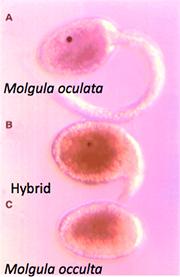 Molgula species and hybrid