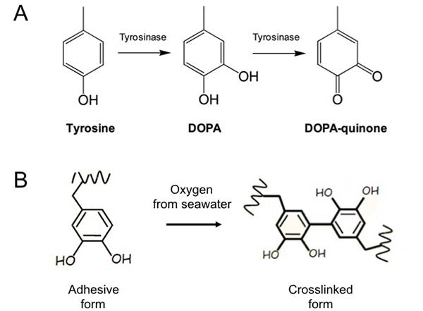 DOPA molecule