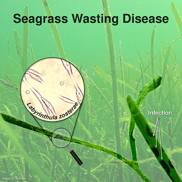 seagrass wasting disease