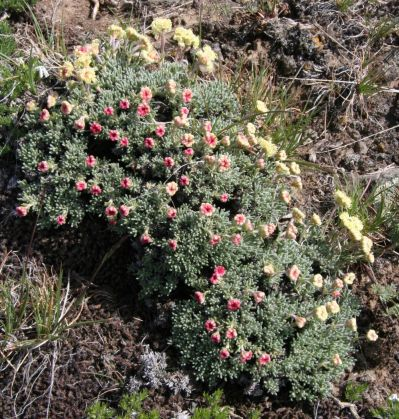 Eriogonum thymoides. Photo by Matt Davies