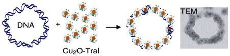 nanoparticles onto circular double stranded DNA