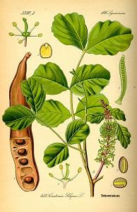 Ceratonia siliqua image from Otto Wilhelm  Thome's Flora von Deutschland...