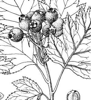 Crataegus pinnatifida detail from Flora of China at EFloras.org