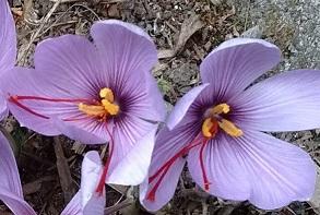 saffron crocus blooming in Laura's garden