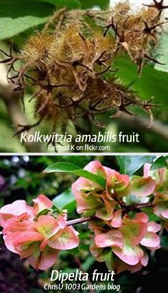 Kolkwitzia fruit compared with Dipelta fruit