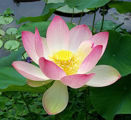 Sacred lotus (Nelumbo nucifera) photo by T.Voekler from Wikimedia Commons