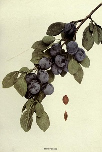 detail from The Plums of New York, U.P.  Hedrick, 1911