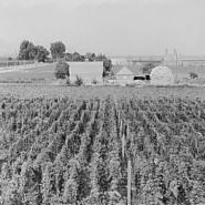 Hop yard on ranch of M. Rivard in French-Canadian colony, three weeks before picking.