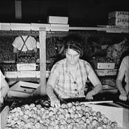 Packing fresh prunes at night in packinghouse during busy season. Wages, two cents per box.