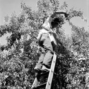 Harvesting pears requires agility and balance. Washington, Yakima Valley.
