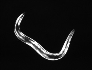 zcIs14 Whole worm