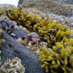 Nucella ostrina eating barnacles