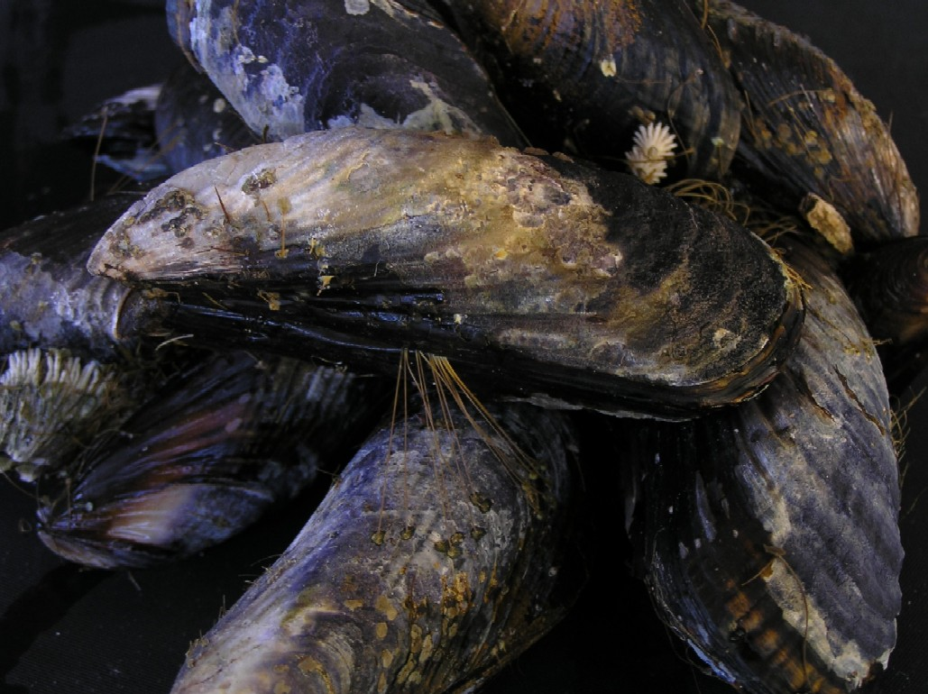 mussels attach to each other with byssal threads