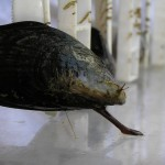 mussel extends foot to mold another thread
