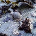ostrina on balanus_small