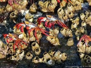 sally lightfoot crabs and barnacles