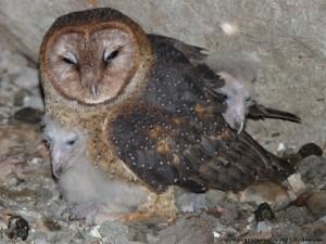 Galápagos barn owl