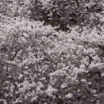 Cherry Blossoms; photo by Jeanette Mills, 02 April 2012