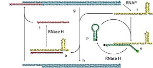 A feedback controller made from bits of DNA and a couple of enzymes. This circuit can be run in a test tube. A double stranded DNA with an RNAP promotor is transcribed to produce RNA. In our circuit, the RNA drives a fluorescent reporter and also turns off the promotor. The result is negative feedback: too much RNA and RNA production slows down; note enough, and it speeds up.