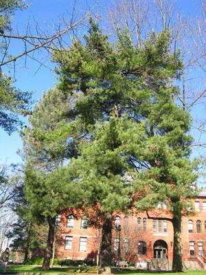 45 eastern white pine