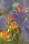 Daniel Mosquin's Castilleja applegatei var. pinetorum