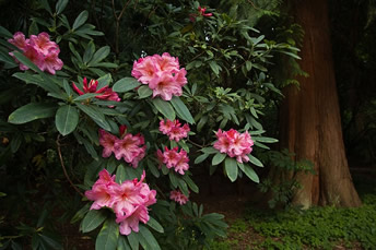 Rhododendron hybrid by Ethan Welty