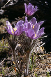 Anemone patens var multifida, photo by Richard Ramsden