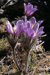 Anemone patens var multifida, photo by Richard Ramsden