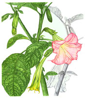 Botanical art by Kathleen McKeehen