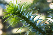Monkey Puzzle tree photo