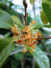 Osmanthus fragrans cultivar