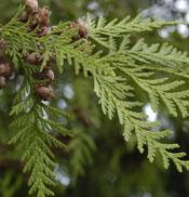 western red cedar photo