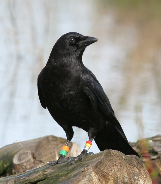 Seattle Crows Submit A Sighting Help - Bird map of the us crows