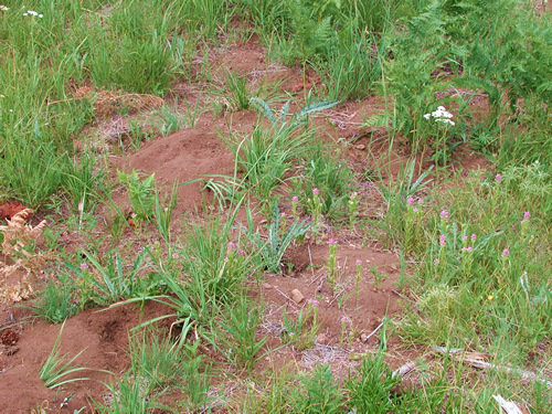 Bunchgrass Ridge: Meadow ecology, restoration, and ...