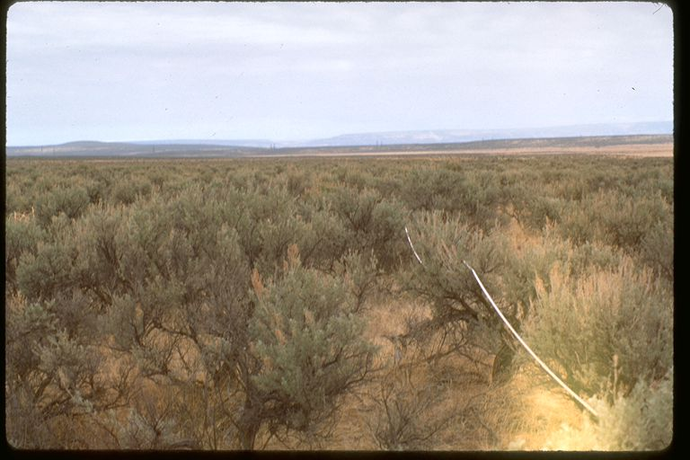 A photo from 1994 showing one of our permanent vegetation plots prior to the fires. There is dense cover of big sagebrush. Photo by Dave Wilderman.