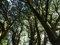 image of Acer macrophyllum by Laura Blumhagen