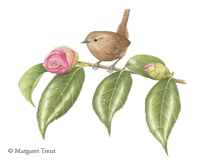 winter wren by Margaret Trent