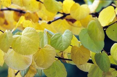 Cercidiphyllum japonicum by Joy Spurr