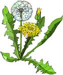 dandelion picture