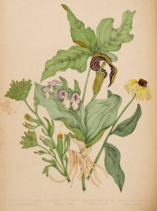 detail from Canadian Wild Flowers, Agnes Fitzgibbon, 1868
