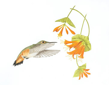 Hummingbird painting by Margaret Trent